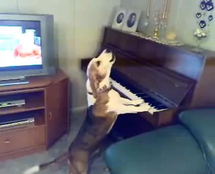Dog playing piano and singing